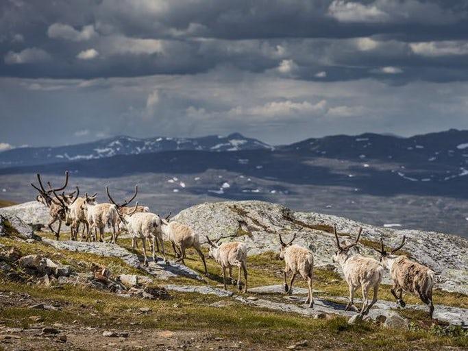 Nationalparkstur i Laponia: Högsommar