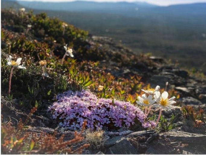 Vandring och fjällväxter i Storlien